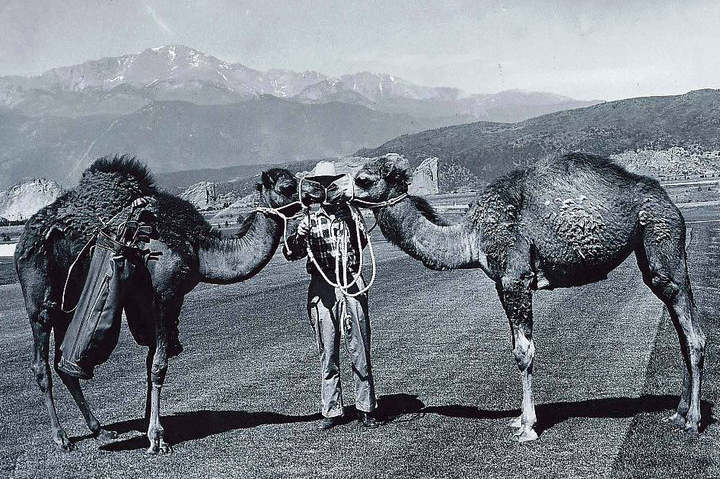 historical kissing camels