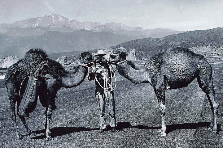 historical kissing camels