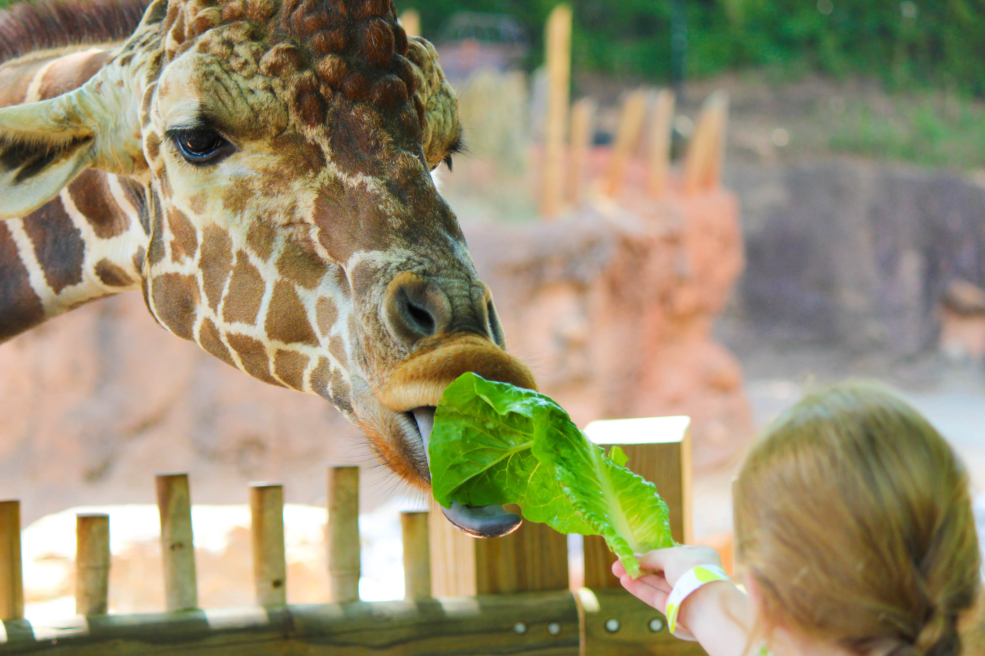 child feeding giraffe lettuce