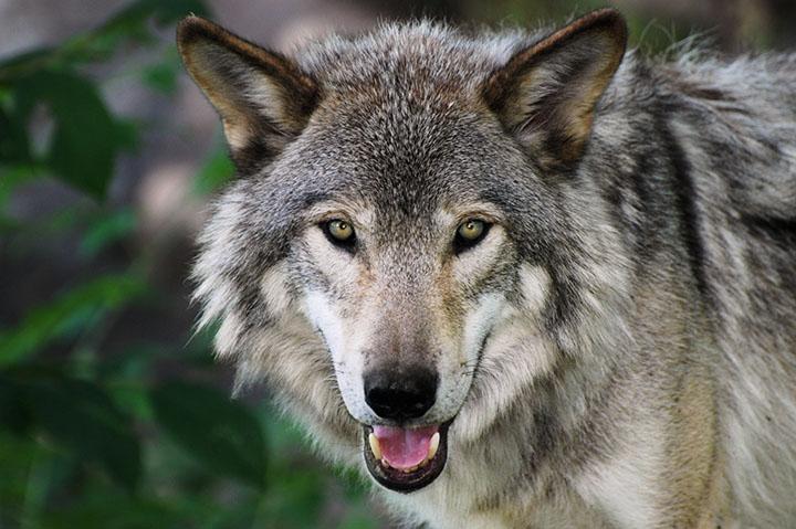 wolf facing camera